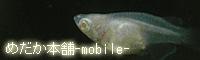 めだか本舗モバイルブログ mobile ver.