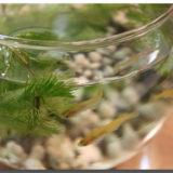 メダカ飼育と麦飯石~メダカもエビも貝も活き活きうれしいその存在感~
