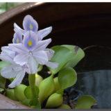 ホテイアオイ(ホテイ草)~メダカ飼育の定番品、その性質特徴とは~