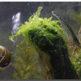 メダカ飼育とコケ藻対策~気になるメダカ水槽の汚れ~