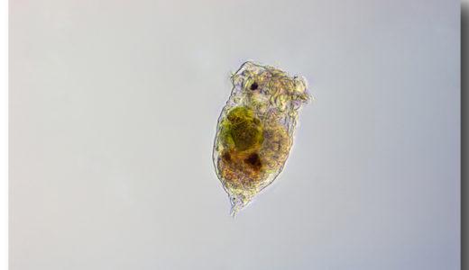 メダカ飼育とインフゾリア(ワムシ)~孵化後一週間の稚魚たちへ2~