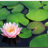 メダカ飼育と睡蓮(スイレン)~屋外水槽で同居させたい植物人気NO.1~