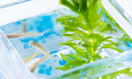 メダカ飼育とアナカリス~丈夫さと高い水質浄化能力を併せ持つ水草~